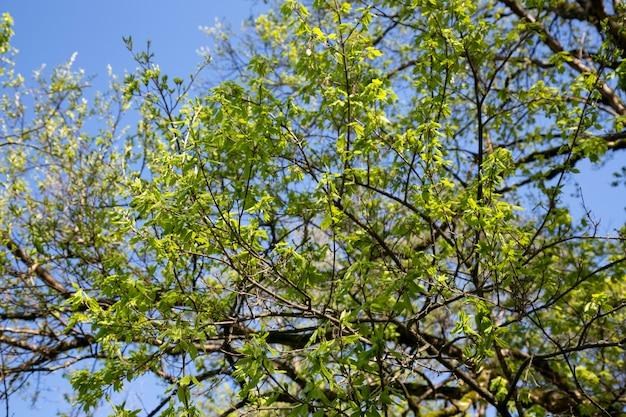Branches d'arbres avec de jeunes feuilles vertes sur fond de ciel bleu, fond d'été