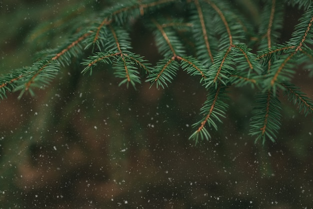 Branches d'arbres avec de la neige, gros plan d'aiguilles de pin.