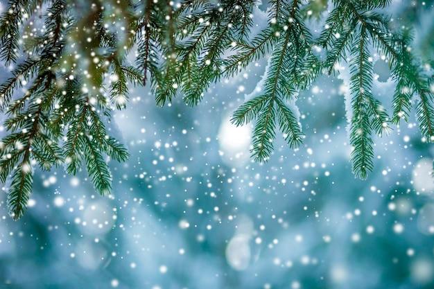 Branches d'arbres de pin avec des aiguilles vertes couvertes de neige propre et fraîche sur fond bleu flou extérieur copie espace.