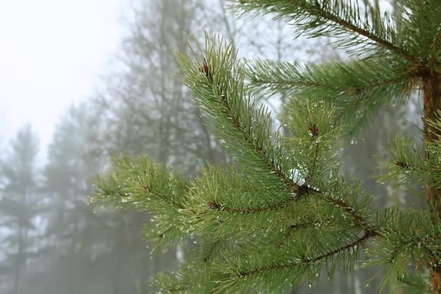 Branches d'arbres de pin d'eergreen dans le parc d'hiver