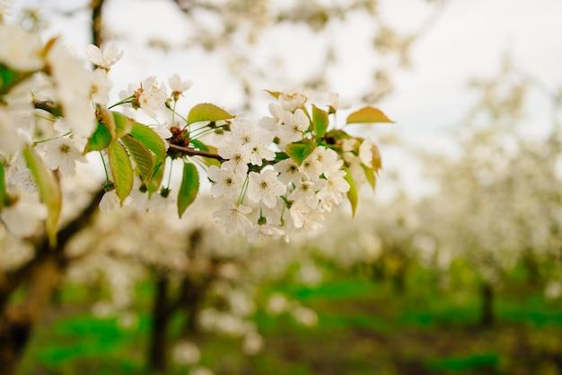 Branches d'arbres de printemps en fleurs au soleil. l'arôme des fleurs du verger. aromathérapie. la beauté de la nature.