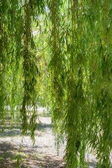 Branches d'arbres de saule pleureur dans le parc