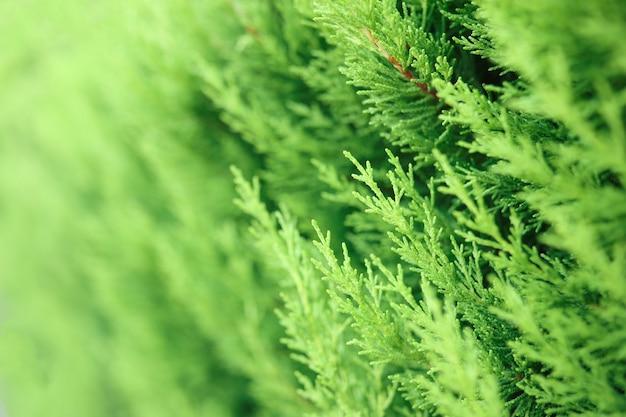 Les branches des arbres verts se bouchent. aménagement paysager et jardinage professionnel.