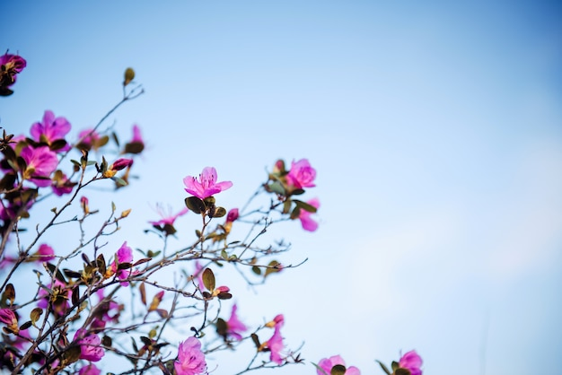 Branches d'arbuste à fleurs roses sur fond de ciel bleu. fond floral avec espace de copie.