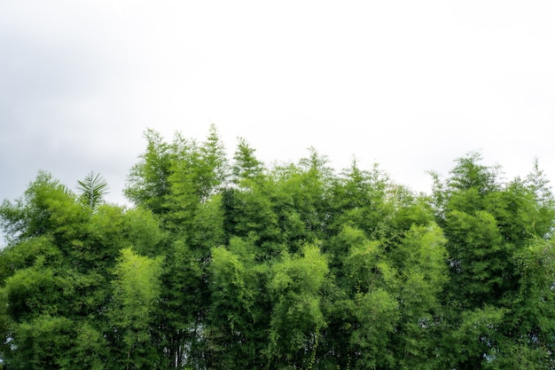 Branches de bambou contre le ciel blanc