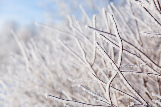 Branches blanches enneigées de l'arbre dans la forêt d'hiver