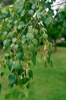 Branches de bouleau avec des feuilles vertes et des chatons