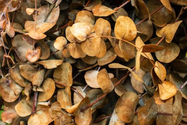 Branches de brindilles d'eucalyptus dollar en argent sec.