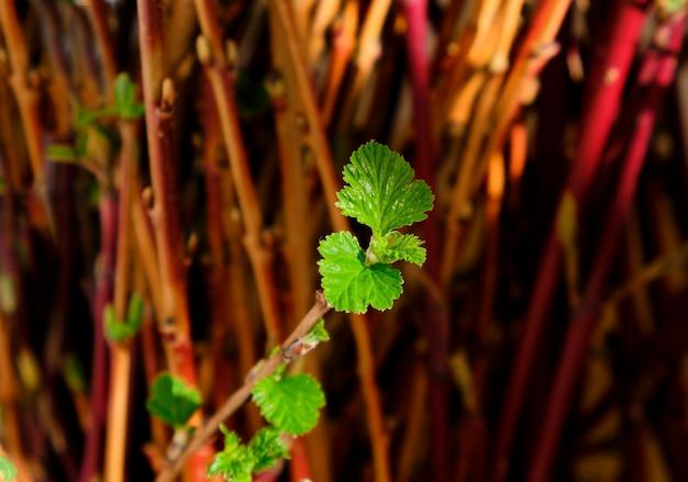 Branches brunes de boutures hachées avec des feuilles déjà en fleurs