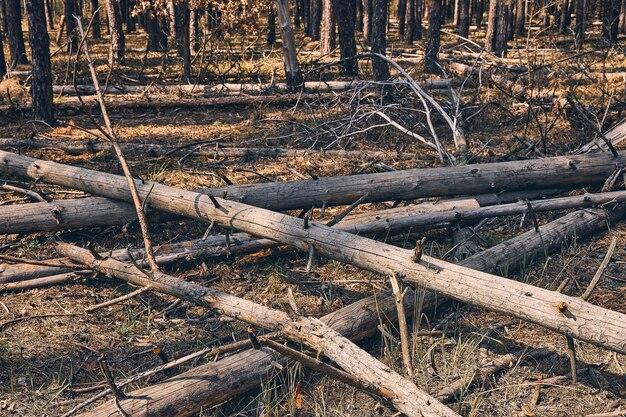 Branches cassées tombées avec une écorce sèche fissurée sur leurs troncs allongés sur le sol
