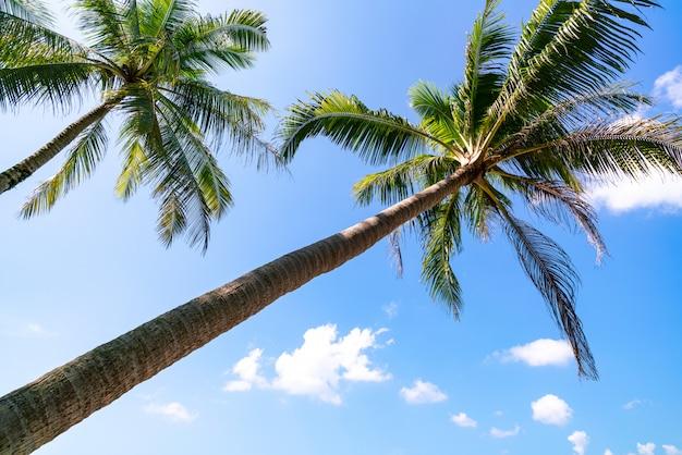 Branches de cocotiers sous fond de ciel bleu clair en saison estivale.