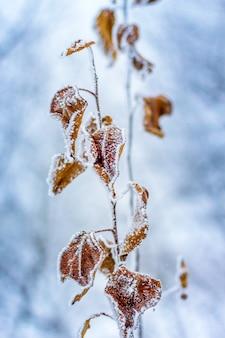 Branches couvertes de givre et feuilles brunes sèches d'un arbre_