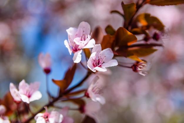 Branches du pommier paradis en fleurs au printemps