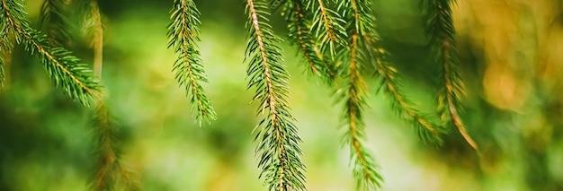 Branches d'épicéa comme fond de nature abstraite et concept d'environnement naturel