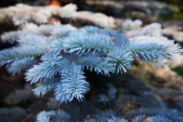 Branches d'épinette bleue éclairées par le soleil, gros plan, arrière-plan flou.