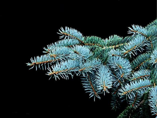 Branches d'épinette bleue. fermer.