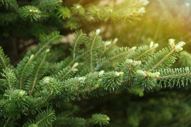 Branches de l'épinette des carpates smereka close up illuminée par le soleil.