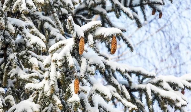 Branches d'épinette couvertes de neige avec des cônes par temps ensoleillé_