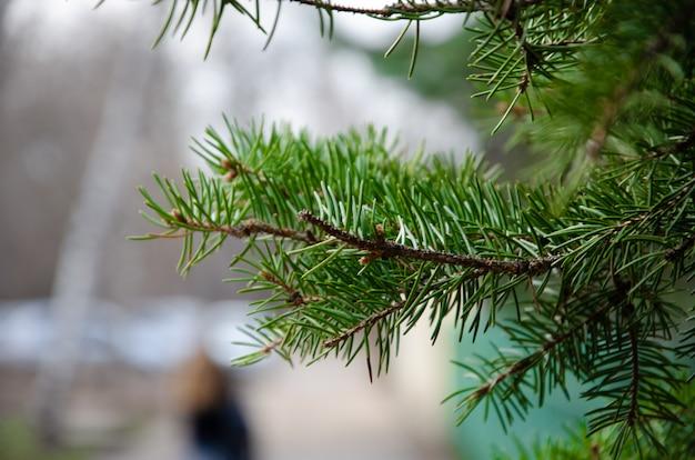 Les branches de l'épinette, du pin, des arbustes au jour de la macro