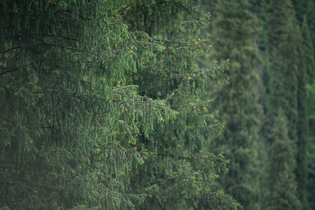 Branches d'épinette de tien shan vert forêt de montagne