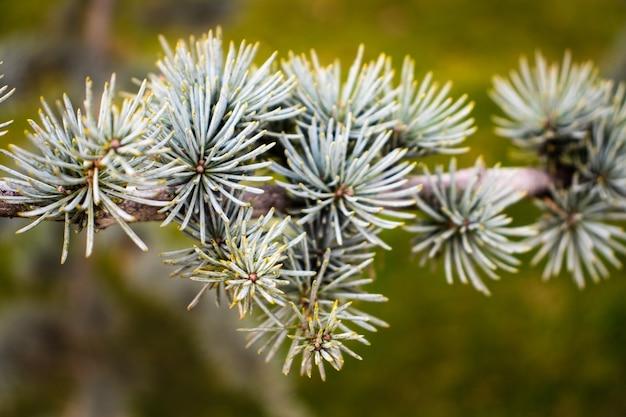 Branches d'épinette verte avec de petites aiguilles gros plan