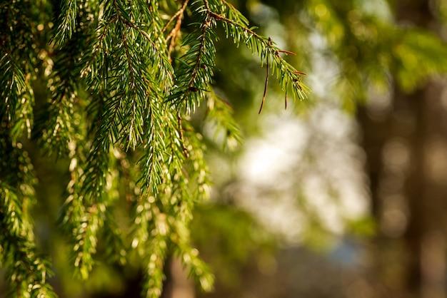 Branches d'épinette verte suspendu sur floue
