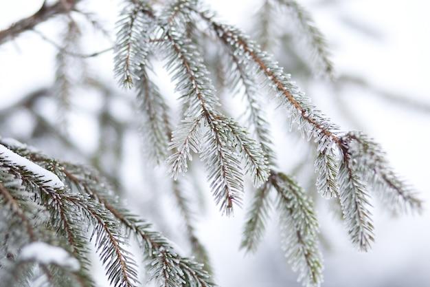 Branches épineuses vertes d'épinette ou de pin. concept de nouvel an nature. le brunch serré mangeait près en hiver. mise au point peu profonde.