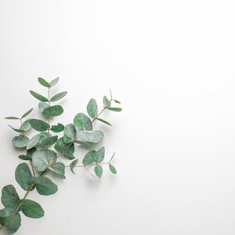 Branches d'eucalyptus sur fond blanc. plat, vue de dessus, espace de copie