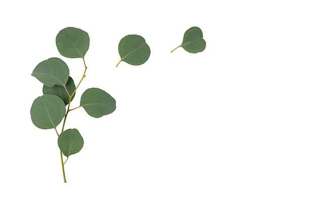 Branches d'eucalyptus isolés sur fond blanc. mise à plat, vue de dessus. copie espace. photo de haute qualité
