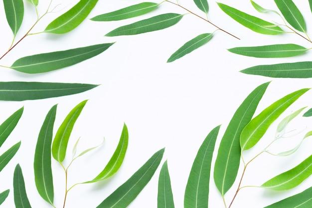 Branches d'eucalyptus verts sur blanc
