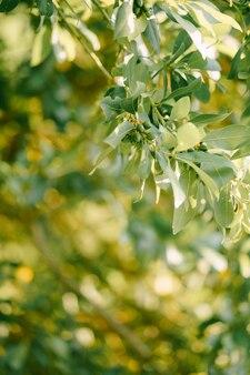 Branches feuilles et baies feuille de laurier sur l'arbre