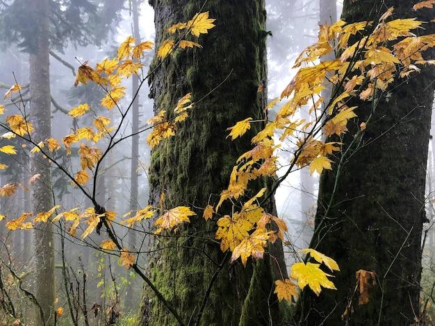 Branches avec des feuilles jaunes entourées d'arbres dans l'oregon, usa