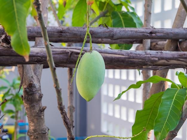 Branches et feuilles de manguiers