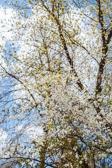 Branches fleuries sur arbre dans les rues de la ville. arbre à fleurs printanières à floraison blanche et rosée. branches de cerisier ou arbre en fleurs au printemps pour le fond.