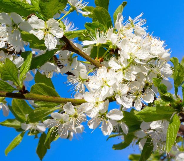 Branches fleuries au printemps
