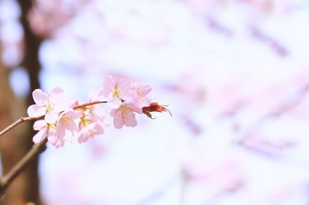 Branches fleuries de pommier. fond de printemps avec mise au point sélective douce. fleurs de sakura en fleurs