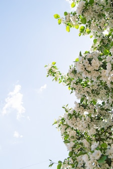 Branches fleuries de pommiers contre le ciel bleu et la lumière du soleil