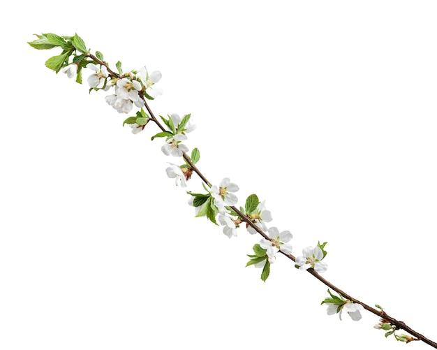 Branches fleuries de printemps de fleur de cerisier isolées.