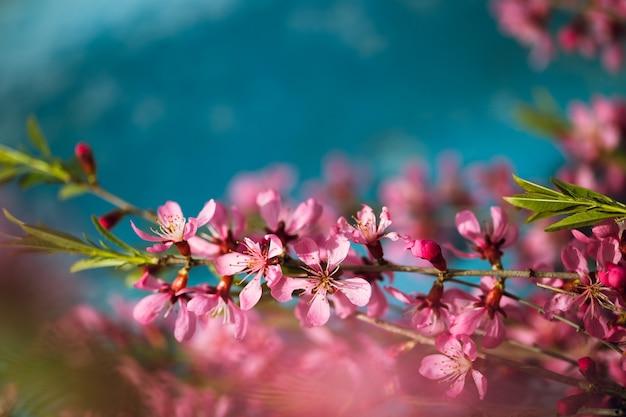 Branches fleuries de printemps, fleurs roses