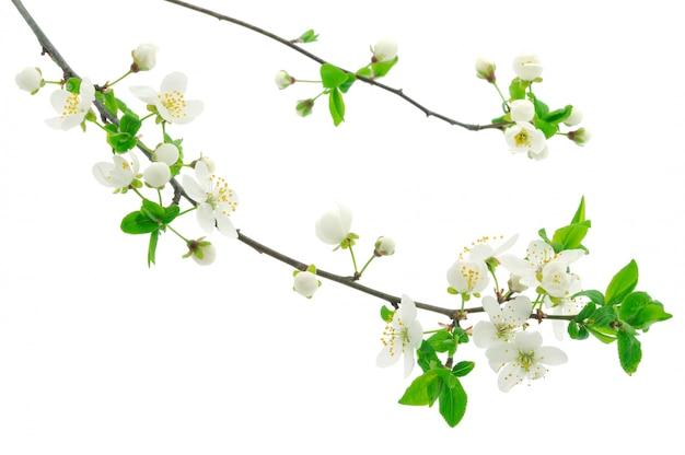 Branches de fleurs de cerisier sur fond blanc
