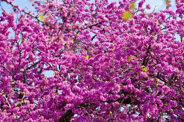 Branches avec des fleurs roses fraîches au soleil du matin contre le ciel bleu
