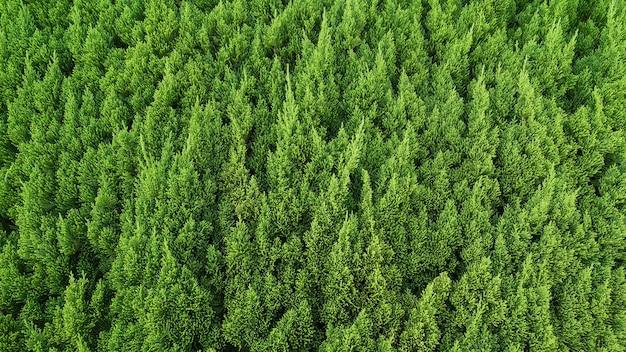Branches De Fond De Pins Photo Premium