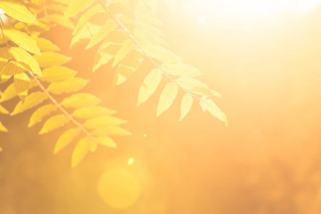Branches de frêne avec des feuilles au soleil en automne.