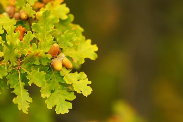 Branches de glands sur un arrière-plan flou