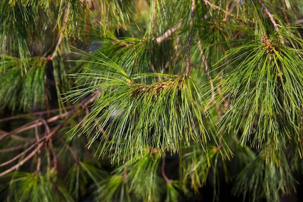 Branches d'un gros plan de pin à feuilles minces. pinus leiophylla schiede. l'arbre toujours vert. fond naturel vert.