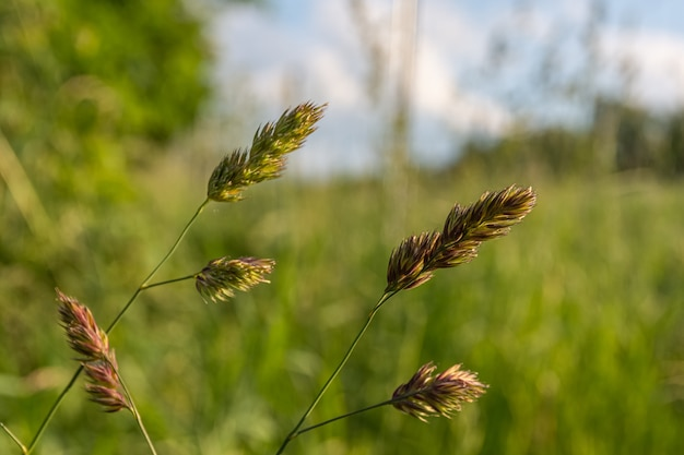 Branches d'herbe douce poussant sur le terrain