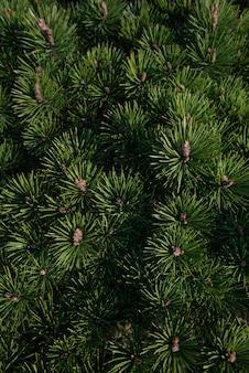 Branches de jeunes sapins avec des bourgeons de toile denses.