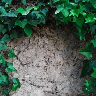 Branches de lierre sur une surface pierreuse