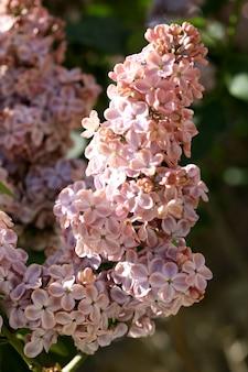 Branches de lilas violet en fleurs dans le jardin se bouchent
