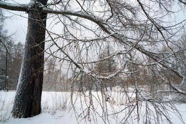 Les branches de mélèzes recouvertes de neige. paysage hivernal. russie, région de léningrad.